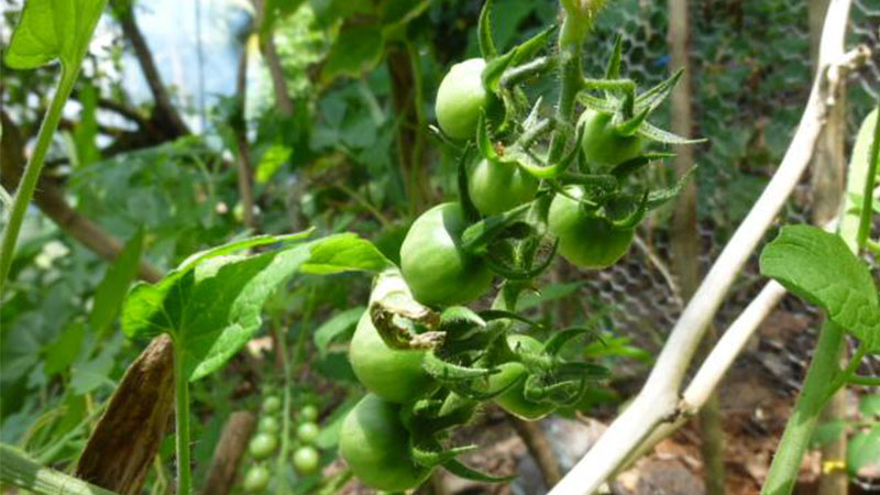Aquaponics - Growing Tomatoes